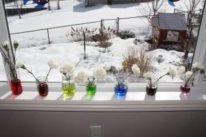 rainbow carnations 10