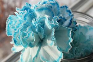 rainbow carnations 16