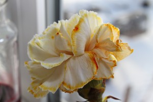 rainbow carnations 18